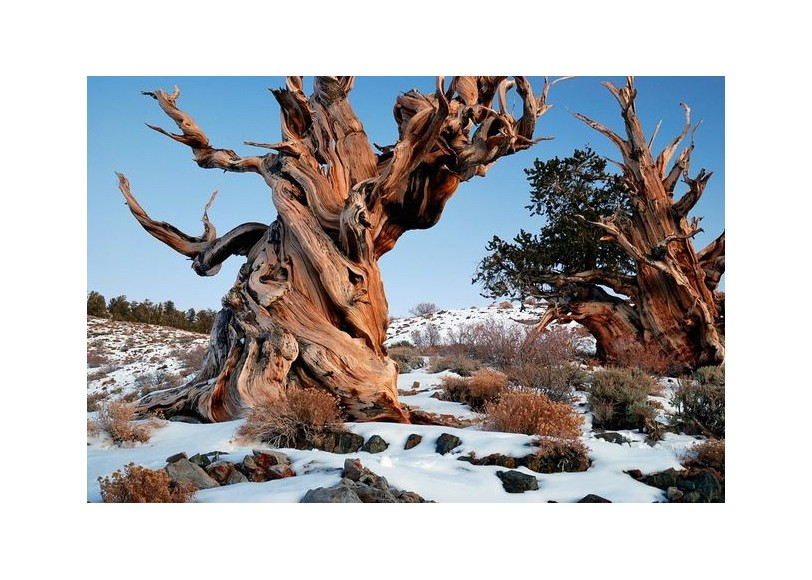10 oldest trees in the world